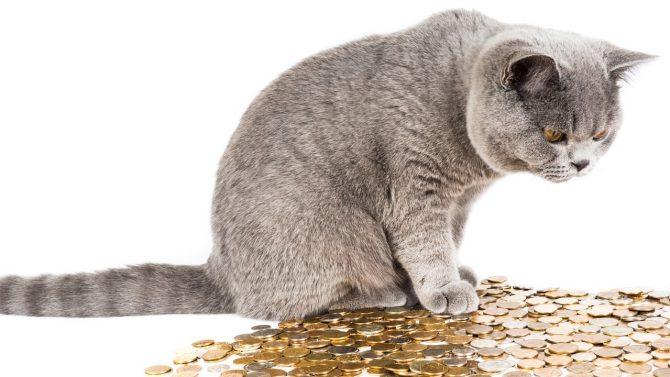 Eine graue Katze sitzt auf einem Haufen von Münzen. Interessiert blickt die Katze auf die Geldmünzen unter sich.